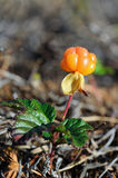 Cloudberry Stock Image