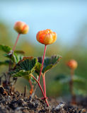 Cloudberry Stock Photos