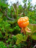 Cloudberry Fotos de Stock