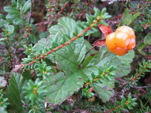 Cloudberry. Berries, plants, harvest, nature.  grows in the swamp. Сloudberries on moss Royalty Free Stock Images