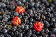 Cloudberry blackberry3 Στοκ Εικόνες
