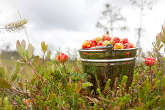 Cloudberry in the bucket Royalty Free Stock Photos