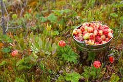 Cloudberry in the bucket Stock Image
