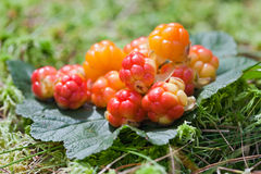 Cloudberry close up in summer Stock Photography