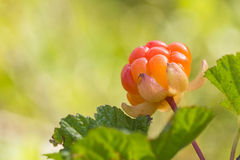A cloudberry closeup Stock Photo