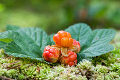 Cloudberry closeup in summer. Stock Photography