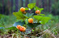 Cloudberry closeup in summer. Stock Photo