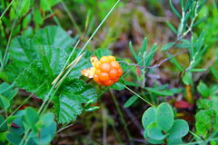 Cloudberry. Royalty Free Stock Images