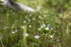 Cloudberry flowers Stock Photography