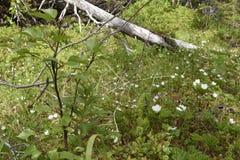 Cloudberry flowers Stock Photo