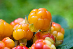 Cloudberry on a green background Royalty Free Stock Photography