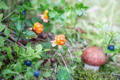 The cloudberry grows in the forest. Karelia. Russia Stock Photos