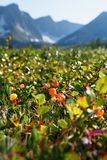 Cloudberry grows in the forest. North Karelia. stock photos