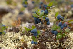 Cloudberry harvest. Russian North. Russian Lapland. Arctic nature Royalty Free Stock Images