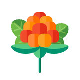 Cloudberry with leaves vector illustration. Superfood creeping r Stock Photo