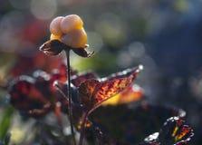 Cloudberry moroshka, βουνά, stone7 Στοκ Εικόνα