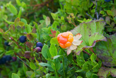 Cloudberry Stock Photography