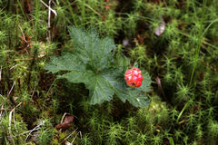 Cloudberry, Rubus chamaemorus Royalty Free Stock Image