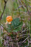Cloudberry. On the swamp close up Royalty Free Stock Photography