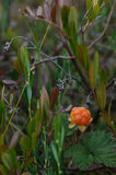 Cloudberry. On the swamp close up Stock Image