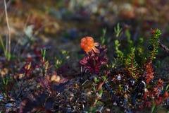 Cloudberry tundra στοκ φωτογραφία