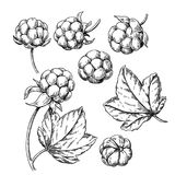 Cloudberry vector drawing. Organic berry food sketch. Vintage engraved illustration. Of superfood. Hand drawn icon for label, poster, packaging design royalty free illustration