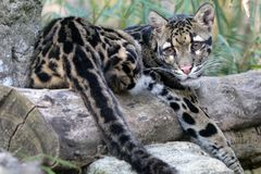 Cloude leopard Stock Photography