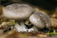 Clouded Agaric - Clitocybe nebularis. Clouded Agaric Fungi on forest floor - Clitocybe nebularis Stock Images
