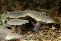 Clouded Agaric - Clitocybe nebularis Royalty Free Stock Photography