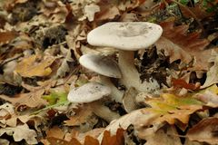 Clouded agaric Stock Photos