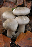 Clouded Agaric Fungus. Clitocybe nebularis Stock Photo