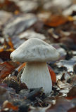 Clouded Agaric. Fungus - Clitocybe nebularis Stock Images