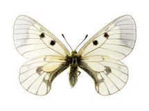 Clouded Apollo butterfly Stock Photography