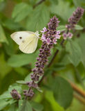 A Clouded Apollo feeding on nectar. A Clouded Apollo Butterfly (Parnassius mnemosyne) feeds from the nectar of some tiny wild flowers Stock Photo