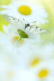 The Clouded Apollo (Parnassius mnemosyne) on a daisy flowers Royalty Free Stock Photography