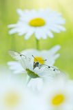 The Clouded Apollo (Parnassius mnemosyne) on a daisy flowers Royalty Free Stock Photos
