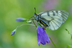 The Clouded Apollo (Parnassius mnemosyne) on flower Royalty Free Stock Photo