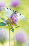 The Clouded Apollo (Parnassius mnemosyne) on a flowers Stock Photos