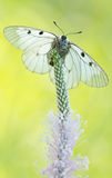 The Clouded Apollo (Parnassius mnemosyne) on grass Stock Images