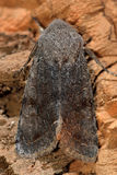 Clouded drab moth (Orthosia incerta) from above. British insect in the family Noctuidae, the largest British family moths in the order Lepidoptera stock photos