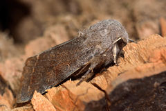 Clouded drab moth (Orthosia incerta) in profile. British insect in the family Noctuidae, the largest British family moths in the order Lepidoptera royalty free stock image