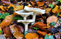 Clouded Funnel or Clouded Agaric Royalty Free Stock Photo