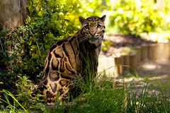 Clouded Leopard. An adult Clouded Leopard looking straight at the camera Royalty Free Stock Images