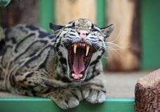 Clouded leopard. In ZOO cage Royalty Free Stock Image