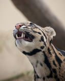 Clouded Leopard. Close up of a clouded leopard cub Royalty Free Stock Images