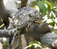 Clouded Leopard. Resting on a branch in its zoo enclosure Stock Photo