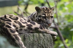 Clouded leopard. The lying clouded leopard on the wood stub Stock Images