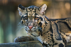 Clouded Leopard. Young Clouded Leopard - Neofelis Nebulosa Stock Images