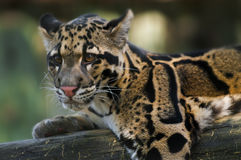 Clouded Leopard. Young Clouded Leopard - Neofelis Nebulosa Stock Photos