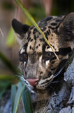 Clouded Leopard. Young Clouded Leopard - Neofelis Nebulosa Royalty Free Stock Photo